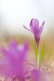View of magic violet blooming spring flowers crocus growing in wildlife. Beautiful macro photo of wildgrowing crocus in soft viol. Et color Royalty Free Stock Image