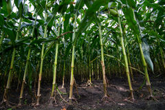 View in a Maize field Royalty Free Stock Photos