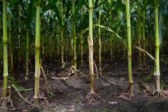 View in a Maize field Royalty Free Stock Image