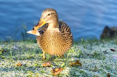 View of mallard duck. On the shore of the pond Royalty Free Stock Image