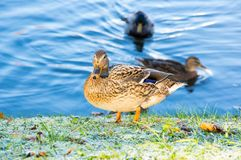 View of mallard duck. On the shore of the pond Stock Photo