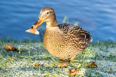 View of mallard duck. On the shore of the pond Stock Images