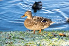 View of mallard duck. On the shore of the pond Stock Photos