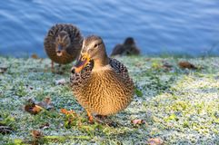 View of mallard ducks. On the shore of the pond Stock Photos
