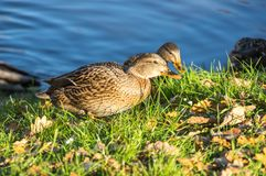 View of mallard ducks. On the shore of the pond Royalty Free Stock Photography