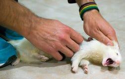 Albino Ferret Stock Image Image Of Beast Young Furry