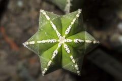View of a Marginatocereus marginatus cactus from above Stock Photos