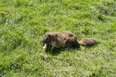 Marmot in the park. View of the marmot in the park. The picture was taken in north Italy in the summertime stock photos