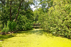 View of marshland with duckweed on the water and reed on a pond. Stock Images