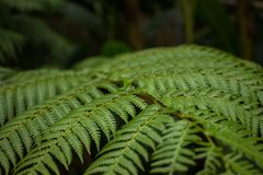 View of mature Tasmanian Ferns. View of mature Tasmanian tree Ferns Royalty Free Stock Image