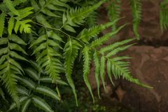 View of mature Tasmanian Ferns. View of mature Tasmanian tree Ferns Stock Photos