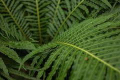 View of mature Tasmanian Ferns. View of mature Tasmanian tree Ferns Stock Photo