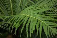 View of mature Tasmanian Ferns Stock Photography