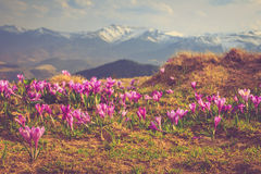 View of a meadow of blooming crocuses in the mountains. royalty free stock photo