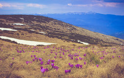 View of a meadow of blooming crocuses in the mountains. Royalty Free Stock Images