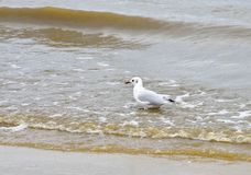 Mediterranean Gull Royalty Free Stock Photography