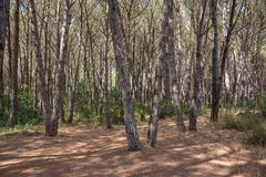 Mediterranean pine forest. View of mediterranean pine forest on a sunny day Stock Photo