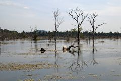View of moat with dead trees  around Preah Neak Poan temple. Scene around the Angkor Archaeological Park. The site contains the remains of the different capitals Royalty Free Stock Images