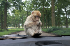 View of monkey with gum on the car. Stock Image