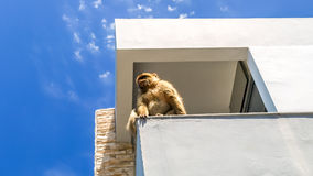 View of monkey on the top of the building on the mountain, gibra Royalty Free Stock Photos