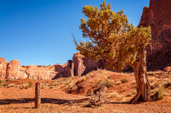 View in Monument Valley. Sculptural golden leaves tree with Spearhead Mesa in the background. Monument Valley, Navajo Tribal Park, Utah, USA Royalty Free Stock Image