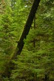 View of mossy tree trunk in old growth rain forest in Vancouver Royalty Free Stock Photos