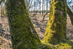 View through mossy tree trunks. Rural landscape seen between mossy tree trunks on a sunny day at the end of the winter season Royalty Free Stock Image