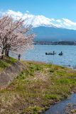 View of Mount Fuji and full bloom pink cherry trees flowers at Lake Kawaguchi with clear blue sky natural background. View of Mount Fuji with full bloom pink stock image
