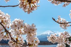 View of Mount Fuji and full bloom white pink cherry tree flowers at Lake Shoji. Shojiko Park in springtime sunny day with clear blue sky natural background royalty free stock photography