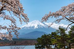 View of Mount Fuji and full bloom white pink cherry tree flowers at Lake Shoji. Shojiko Park in springtime sunny day with clear blue sky natural background royalty free stock image