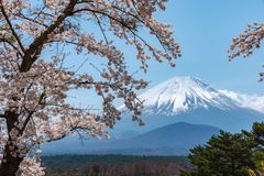 View of Mount Fuji and full bloom white pink cherry tree flowers at Lake Shoji. Shojiko Park in springtime sunny day with clear blue sky natural background royalty free stock photos