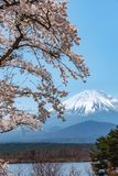 View of Mount Fuji and full bloom white pink cherry tree flowers at Lake Shoji. Shojiko Park in springtime sunny day with clear blue sky natural background stock images