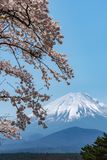 View of Mount Fuji and full bloom white pink cherry tree flowers at Lake Shoji. Shojiko Park in springtime sunny day with clear blue sky natural background stock image