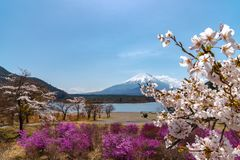View of Mount Fuji and full bloom white pink cherry tree flowers at Lake Shoji. Shojiko Park in springtime sunny day with clear blue sky natural background stock photography