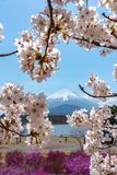 View of Mount Fuji and full bloom white pink cherry tree flowers at Lake Shoji. Shojiko Park in springtime sunny day with clear blue sky natural background royalty free stock images