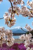 View of Mount Fuji and full bloom white pink cherry tree flowers at Lake Shoji. Shojiko Park in springtime sunny day with clear blue sky natural background stock photo