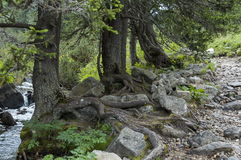 View of mountain glade, river and tree with big root on the ecological walk toward Maliovitza peak in Rila mountain. Bulgaria Royalty Free Stock Photo