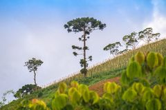 View of mountain landscape with araucaria tree. On the background Royalty Free Stock Photography