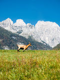Mountain landscape with goat. View on the mountains. A one goat grazing in the valley. The sky is blue. There is a fresh grass in a meadow Royalty Free Stock Photo