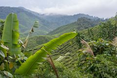 Big palm leaf infront of scenice mountain view over tea plantation in cameron highlands in malaysia royalty free stock images