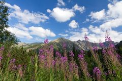 View on mountains and violet flowers fireweed on blue sky background Stock Image