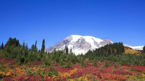 Mt Rainier Fall Colors Cloudless Blue Sky. View of Mt Rainier from fall colored meadow with blue cloudless sky. Mt Rainier is the highest mountain of the Cascade royalty free stock images