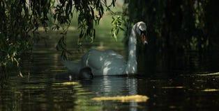 Mute swan. Royalty Free Stock Photo