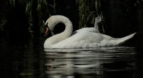 Mute swan. View of a mute swan and signet swimming side by side Royalty Free Stock Image