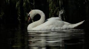 Mute swan. royalty free stock image