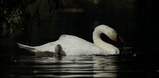 Mute swan. View of a mute swan and signet swimming side by side Stock Photography