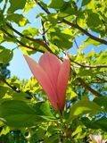 Tender rosy flower of a magnolia tree royalty free stock images
