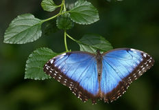 Blue morpho butterfly 1 Royalty Free Stock Photos