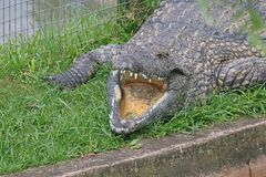 NILE CROCODILE WITH MOUTH OPEN. View of Nile crocodile lying on green grass with wide open jaws Stock Photography