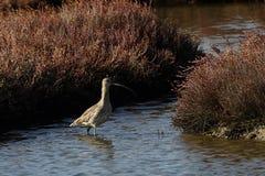 View of numenius arquata in Evros river, Greece. Stock Photos